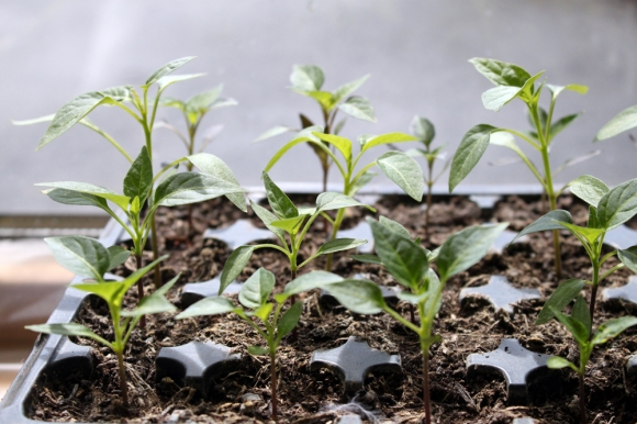 Chilli Ninja_Seedlings4a
